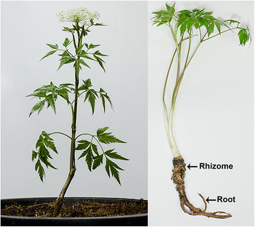Angelica-sinensis-Oliv-Diels-Umbelliferae-with-rhizome-and-root-marked-by-arrows